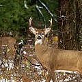 The Rutting Whitetail Buck Print by Thomas Young