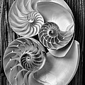 Three chambered nautilus in black and white Poster by Garry Gay