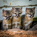 Three Fox Kits Print by Paul Freidlund