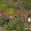 Three Quiet Canada Geese Poster by Susan Wiedmann