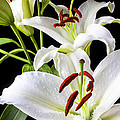 Three white lilies Poster by Garry Gay