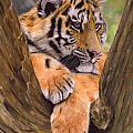 Tiger Cub Painting Poster by David Stribbling