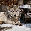 Timber Wolf Pictures 776 Print by World Wildlife Photography