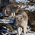 Timber Wolf Pictures 957 Print by World Wildlife Photography
