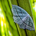 Tiny Moth On A Blade of Grass Print by Bob Orsillo