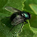To be the Fly on the Salad Greens Print by Barbara St Jean