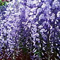Trailing wisteria Poster by Susan Knott
