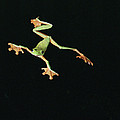 Tree And Leaf Frog Jumping Poster by Michael and Patricia Fogden
