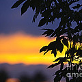 Tree silhouette over sunset Print by Elena Elisseeva