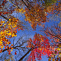 Treetops in fall forest Print by Elena Elisseeva