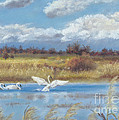 Trio of Trumpeter Swans  Poster by Jymme Golden