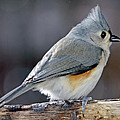 Tufted Titmouse Animal Portrait Poster by A Gurmankin