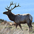 Tules Elks of Tomales Bay California - 7D21218 Print by Wingsdomain Art and Photography