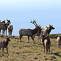 Tules Elks of Tomales Bay California - 7D21236 Poster by Wingsdomain Art and Photography