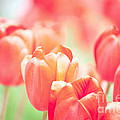 Tulips in the Sun Print by Kay Pickens