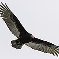 Turkey Vulture In Flight Poster by Thomas Young