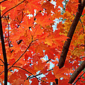 Under the Orange Maple Tree Poster by Rona Black