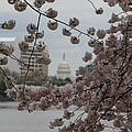 US Capitol - Cherry Blossoms - Washington DC - 01133 Print by DC Photographer