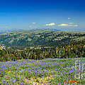 Vast View And Lupine Print by Robert Bales