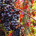 Vines Of October Print by Roger Bailey