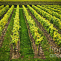 Vineyard Print by Elena Elisseeva