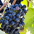 Vineyard Grapes Poster by Charmian Vistaunet