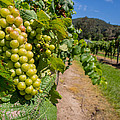 Vineyard Grapes Print by Justin Woodhouse