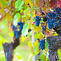 Vineyard Grapes Ready for Harvest Print by Susan  Schmitz