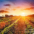 Vineyard Print by Mythja  Photography