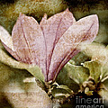 Vintage Magnolia Print by Frank Tschakert
