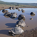 Volcan Alcedo Giant Tortoise Wallowing Print by Tui De Roy