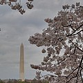 Washington Monument - Cherry Blossoms - Washington DC - 011319 Poster by DC Photographer