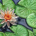 Water Lily Print by David Stribbling