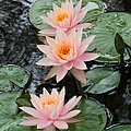 Water Lily Trio Poster by Sabrina L Ryan