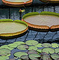 Waterlilies and Platters 2 Poster by Byron Varvarigos