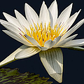 Waterlily and Pad Print by Susan Candelario