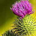 Wearing A Purple Crown - Bull Thistle Print by Mark E Tisdale
