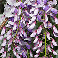 Weeping Wisteria - Spring Snow - Ice - Lavender - Flora Print by Andee Photography