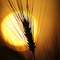 Wheat at Sunset  Print by Tim Gainey