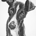 Whippet Black and White Poster by Kate Sumners