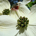 White Dogwood Flowers art prints Spring Print by Baslee Troutman