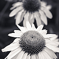White Echinacea Flower or Coneflower Poster by Adam Romanowicz