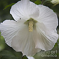 White Hibiscus Squared Poster by Teresa Mucha