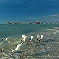 White Ibis near Historic Naples Pier Print by Juergen Roth