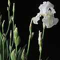 White Iris in Black of Night Poster by Guy Ricketts