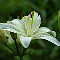 White Lily Poster by Sandy Keeton