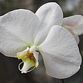 White Orchid Poster by Elisabeth Witte