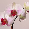White Orchid  Print by Juergen Roth