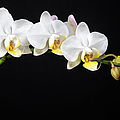 White Orchids Print by Adam Romanowicz