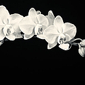 White Orchids Monochrome Print by Adam Romanowicz